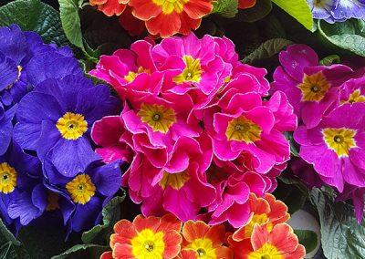 fleurs-bleu-rose-violet