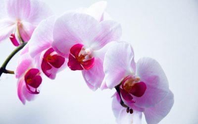 L'orchidée : Mes astuces pour la floraison et l'entretien