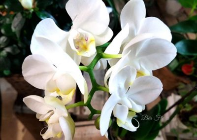 orchidee-blanche-fleurs-nice