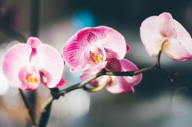 orchidee-fleurs-rose