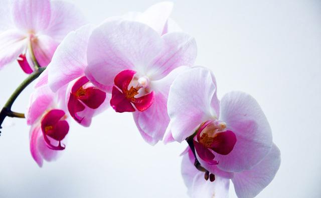 orchidee-blanche-fleurs