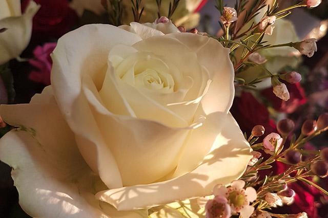 rose-blanche-soleil