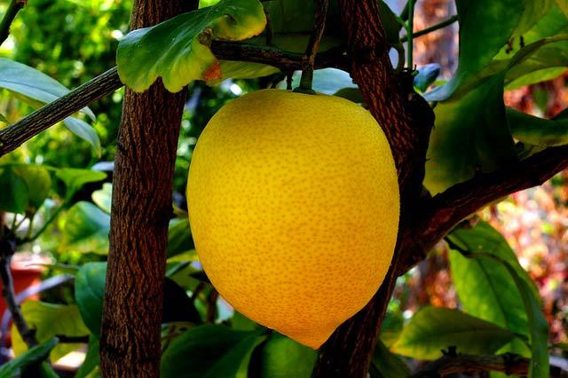 citron-citronnier-plante-fleuriste-nice-beafleurs