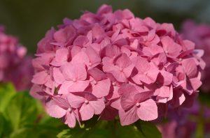 hortensia-fete-des-meres