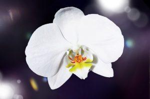 orchidee-fete-des-meres