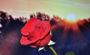 rose-fete-des-mere