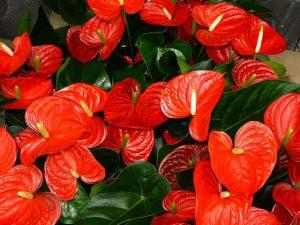 anthurium-plante-depolluante