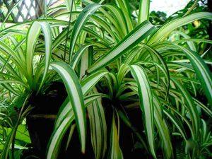 chlorophytum-plante-araignee-depolluante