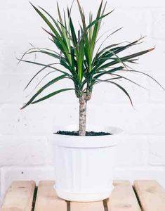 dracaena-margine-plante-depolluante