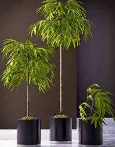ficus-alii-plante-depolluante