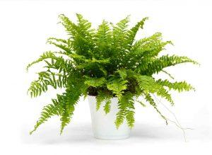 fougere-de-boston-plante-depolluante