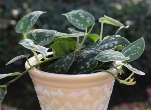 philodendron-plante-depolluante