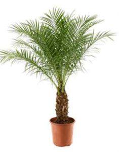 phoenix-roebelenii-plante-depolluante-dattier-mekong