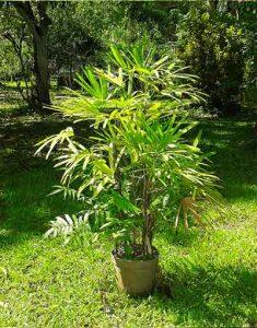 raphis-plante-depolluante