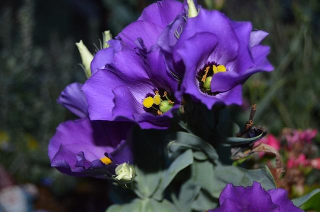 fleur-lisianthus-violet