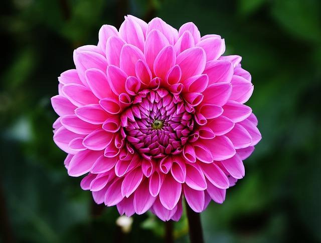 dahlia-bea-fleurs-automne