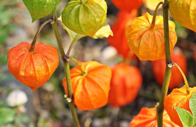 physalis-beafleurs-nice-automne