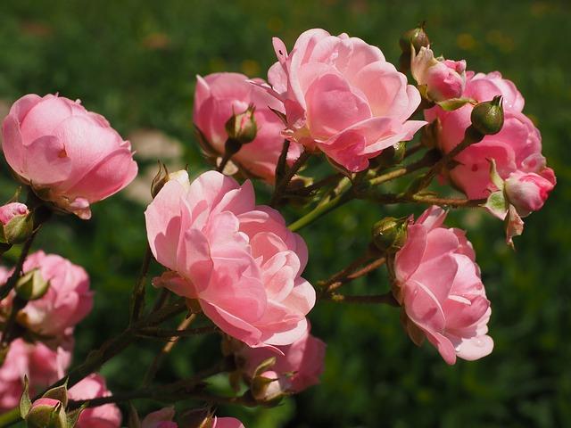 Bouture de rosier : Explication, période idéale et techniques de bouturage