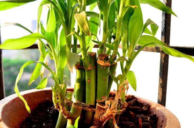 Planter et cultiver un bambou en pot : Guide et conseils de fleuriste